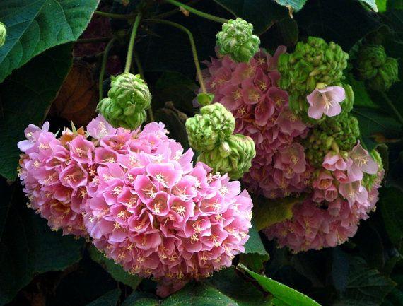 Dombeya Wallichii Fragrant Pink Ball Tree Seeds Easy Shrubby Tree Spectacular Fragrant Plant Hydrangea Tree Hydrangea