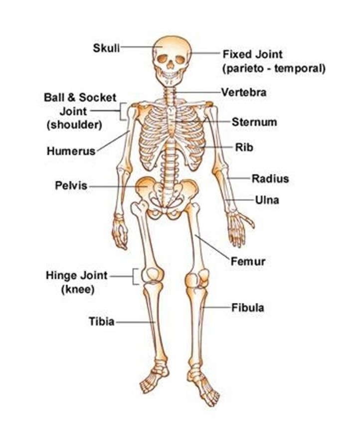 Learning About The Human Skeleton Vocabulary Teaching English