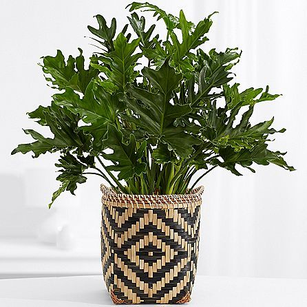 Lacey Philodendron Floor Plant Floor Plants Plants 400 x 300