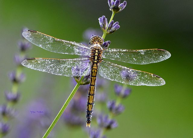 Interesting cool random dragonfly facts for kids | Dragonfly's ...