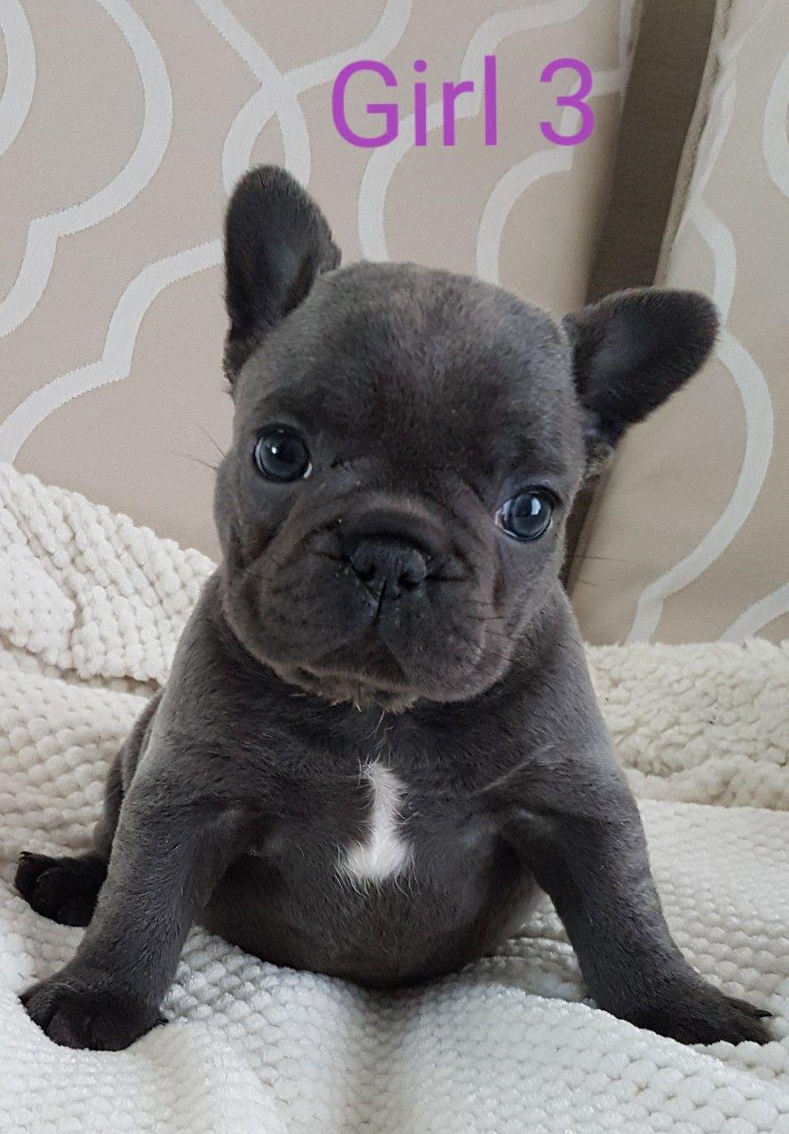 Beautiful Blue French Bulldog Girls Ready Now Pure Breed Genuine