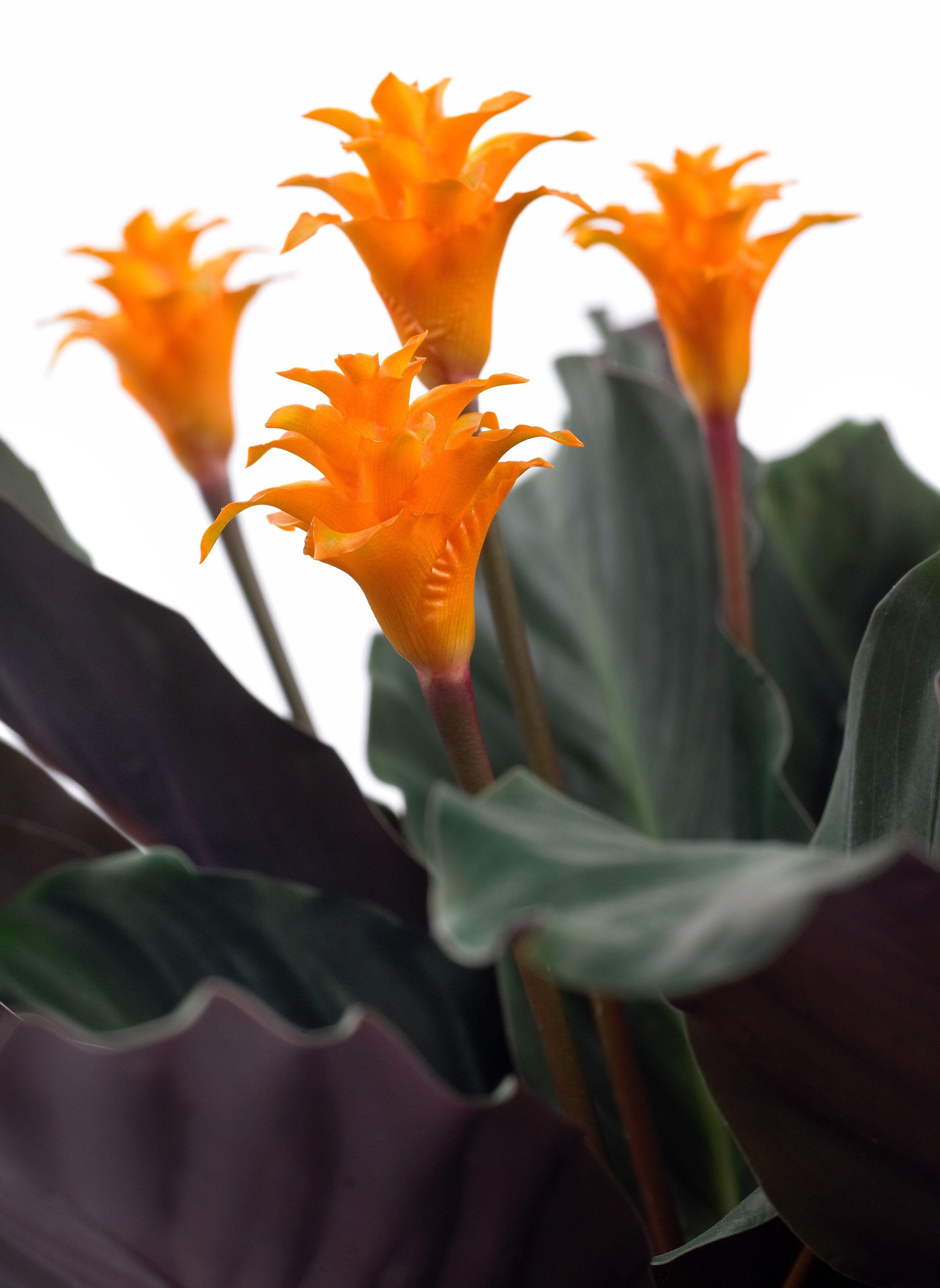 Pianta Fiori Arancioni.Calathea Fiori Tropicali Piante Tropicali E Fiori Esotici