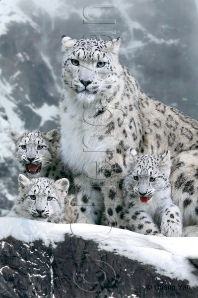 Snow Leopard Hunting Bing Images Snow Leopards Snow