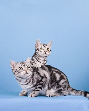 Love The Coloring American Shorthair Cat Cat Breeds Cute Cats Photos