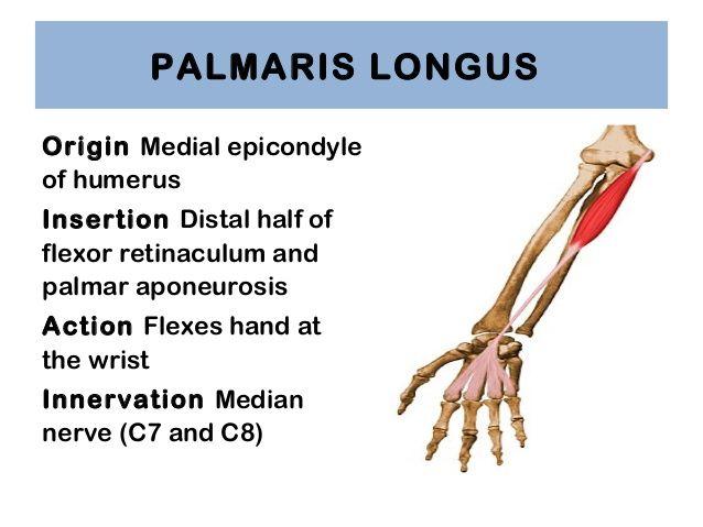 palmaris longus origin and insertion - Google Search