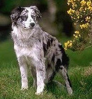 Border Collie Also Love Collie Dog Pictures Border Collie Puppies Collie Puppies
