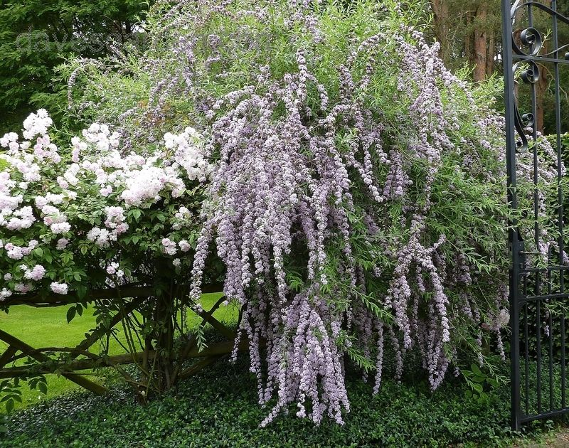 Full size picture of Fountain Butterfly Bush Alternate