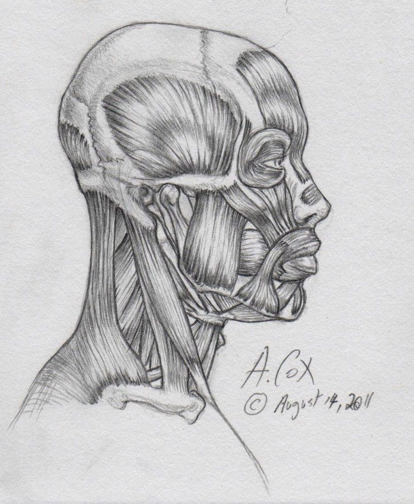 Anatomy-Head Lateral View 2 by andrewcox on DeviantArt | Drawing ...
