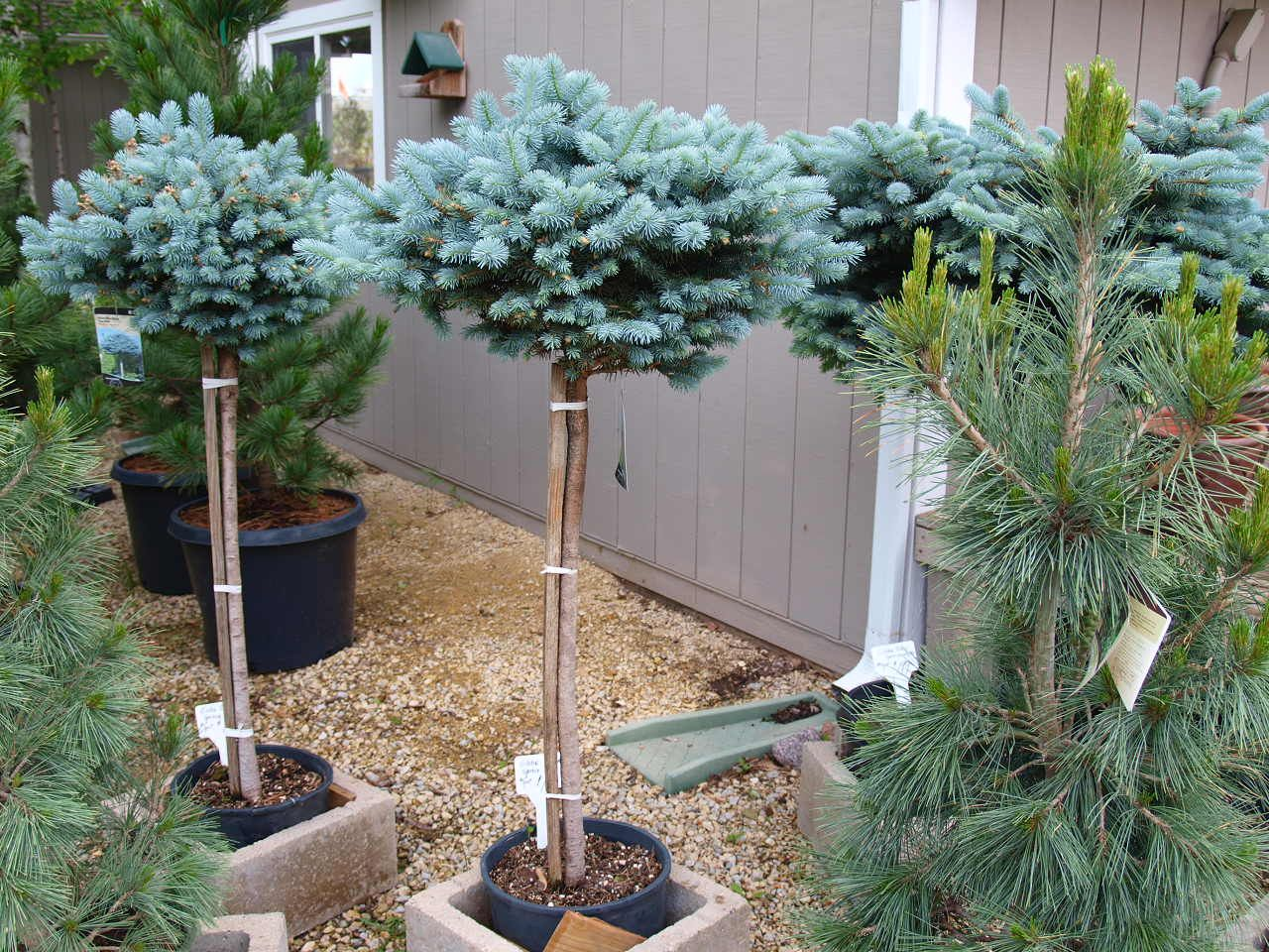 Dwarf Globe Blue Spruce Trees Knecht S Nurseries Landscaping Blue Spruce Tree Evergreen Trees Landscaping Ornamental Trees Landscaping