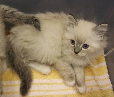 Pretty Seal Lynx Point Mitted Ragdoll Kittens Male Female Registered Cats And Kittens Cute Cats And Dogs Kittens