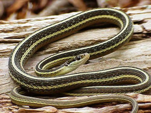 Easternribbonsnake Jpg With Images Snakes For Sale Snake