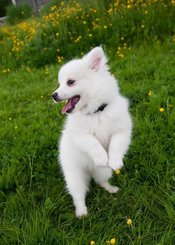 30 Excellent American Eskimo Dog Names [PICTURES