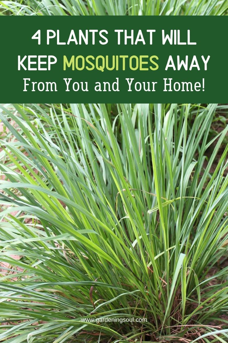 4 Plants That Can Keep Mosquitoes Away From You And Your Home