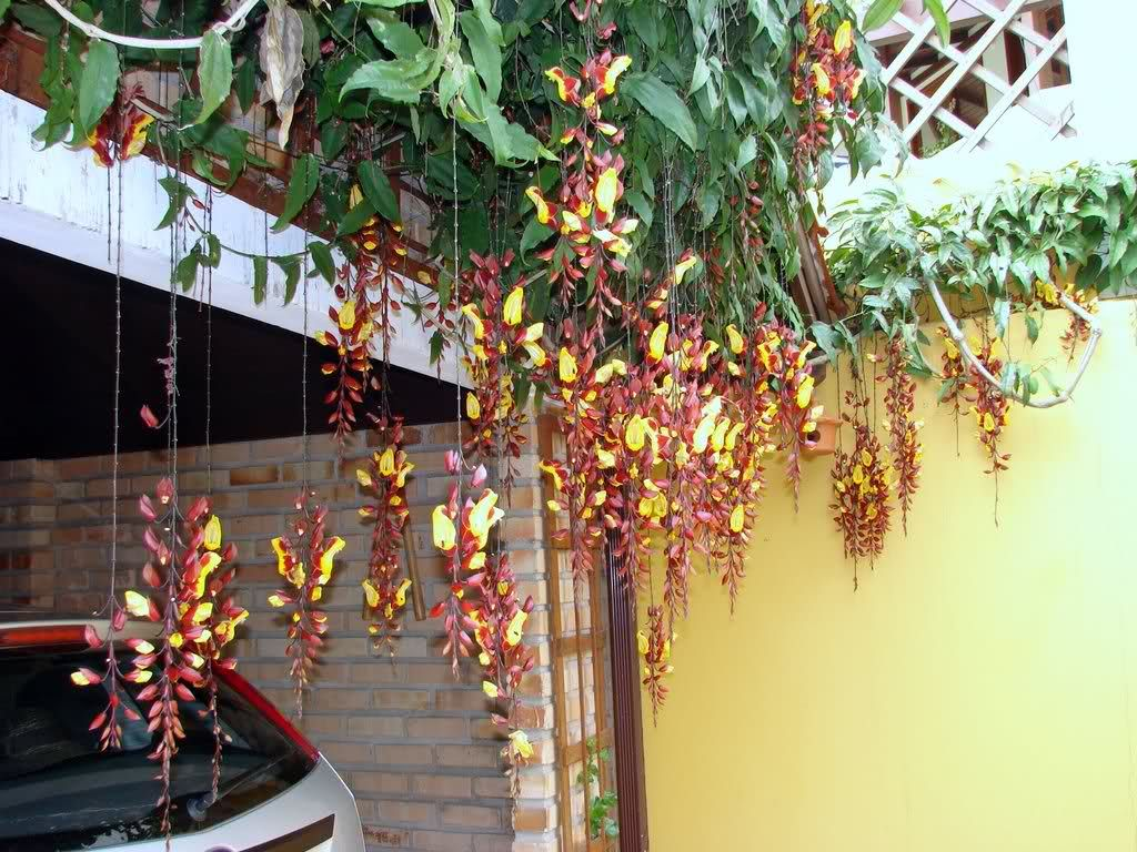 Sapatinho de judia thunbergia mysorensis casinha no for Decoracion casa judia