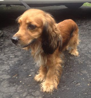 Adopt Rolphie On Petfinder Cocker Spaniel Mix Dog Life Puppies And Kitties