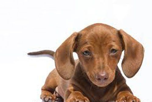 Baby Dachshund Dachshund Puppies Cute Cats And Dogs Dachshund Puppies For Sale