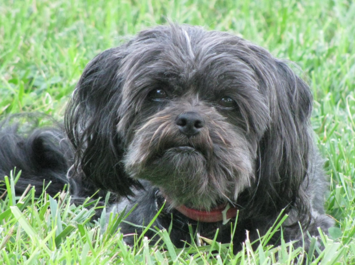 List Of Hdb Approved Dogs In Singapore Affenpinscher Dog Affenpinscher Puppy Affenpinscher