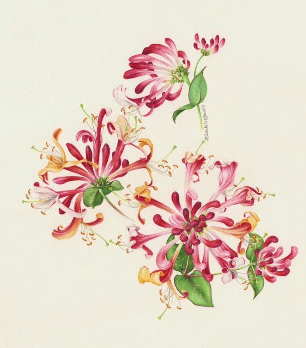 Pin by Elke on Flower art Honeysuckle tattoo