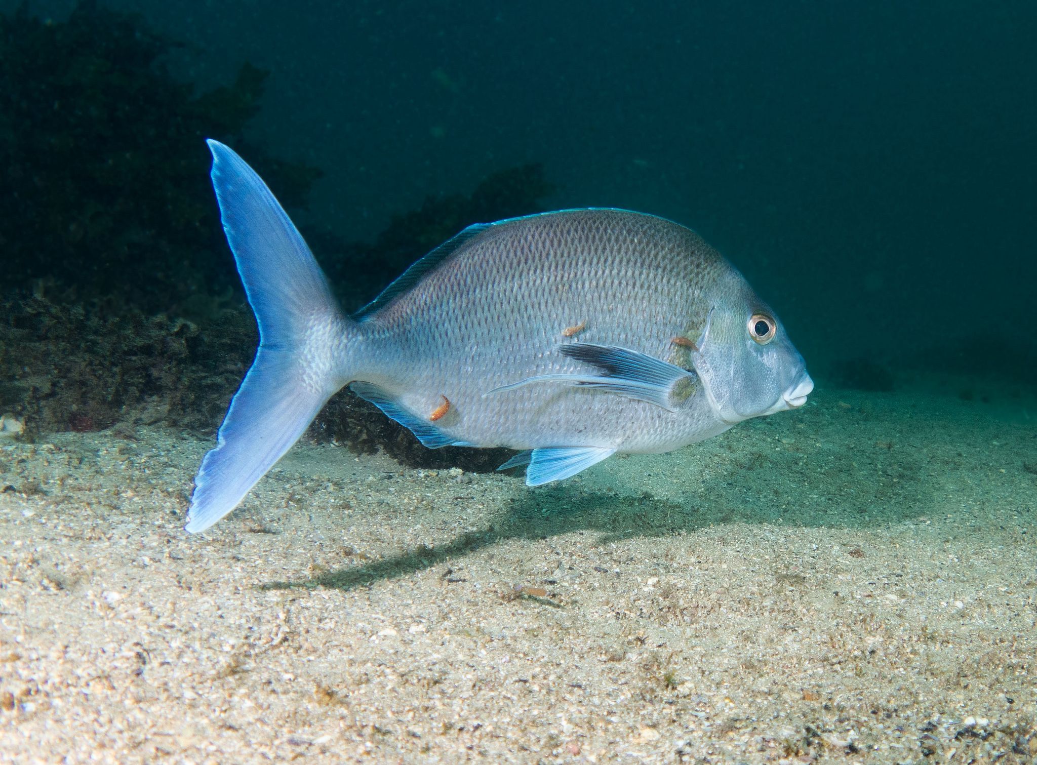 Getting the works - Blue morwong with three cleaners