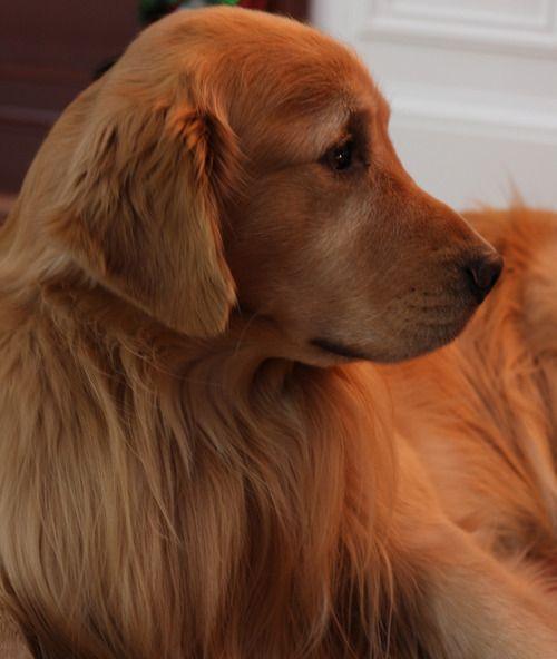 A Classic Southern Gentleman Golden Retriever Photography Dogs