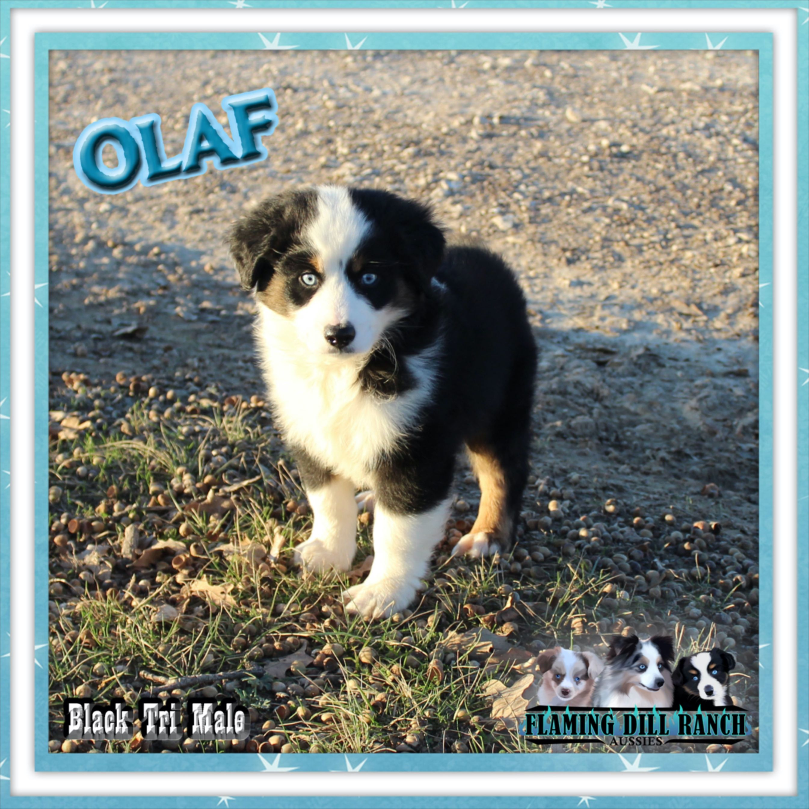 Olaf Mini Blue Eyed Black Tri Male Aussie Australian Shepherd Puppies Aussie Puppies I Love Dogs