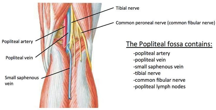 Popliteal Fossa Anatomy Popular Image Gallery For Website With