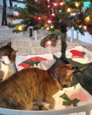 Playful kitties in the Christmas Tree