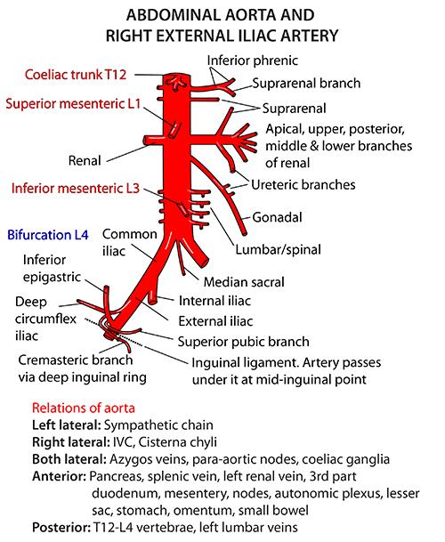 Instant Anatomy - Abdomen - Vessels - Arteries - Abdominal aorta ...
