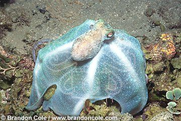 Caribbean Reef Octopus (Octopus briareus) hunting at night. Traps ...