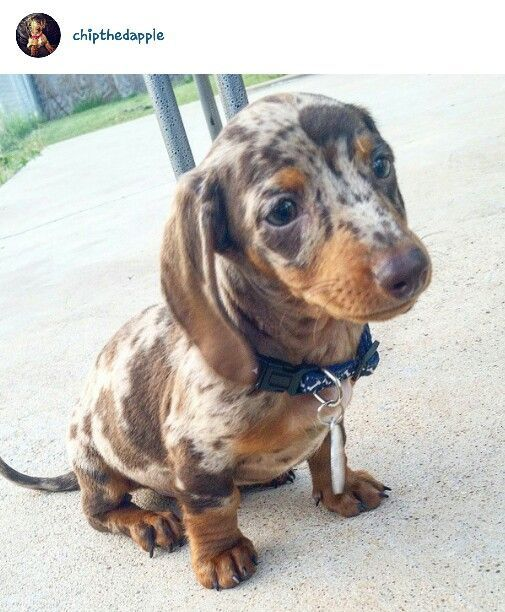 Short And Long Haired Dachshund Puppies Meagan Wiener Ranch