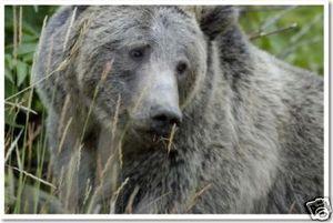 Beautiful Grey Bear
