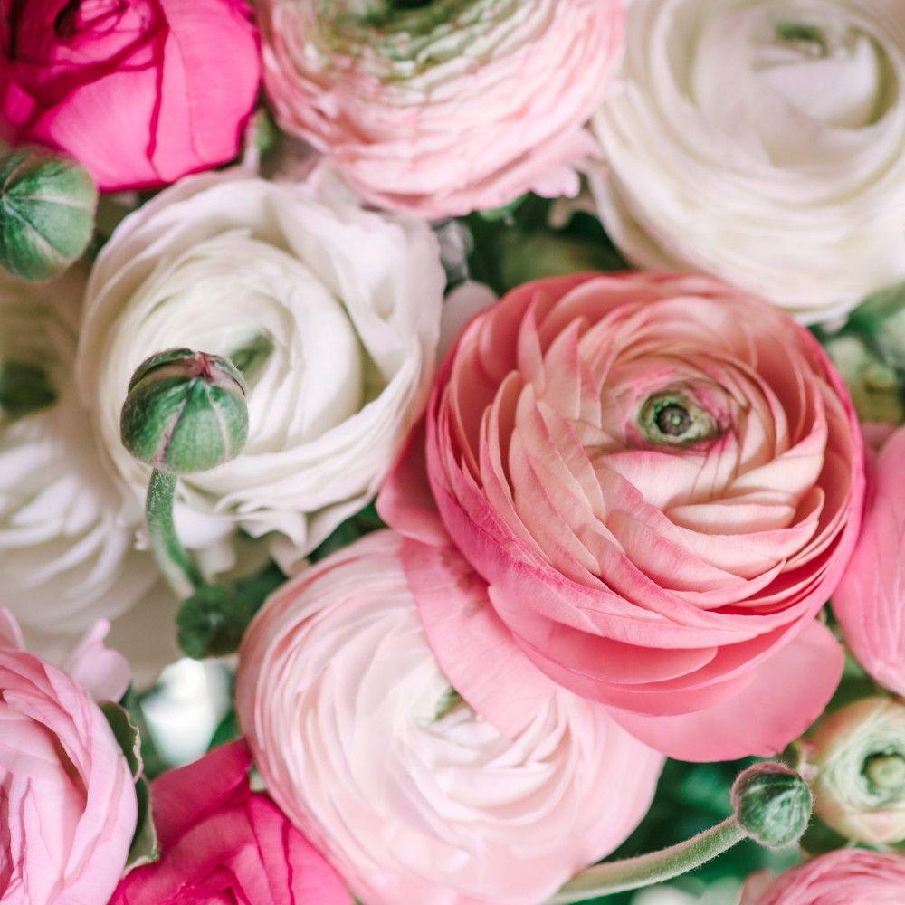 Pastel Mix Persian Buttercups Ranunculus 10 Bulbs 6 7 Cm Bulbs Hirt S Gardens Ranunculus Garden Peony Care Bulb Flowers