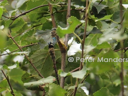 dragonfly 18+