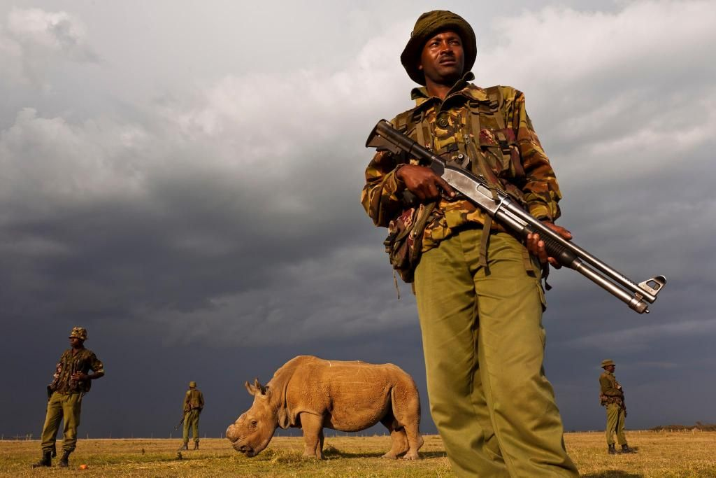 Sudan is the last northern white rhino male in existence, which is why it is guarded around the clock, though not always as close as this. Photo is courtesy of Ol Pejeta Conservancy