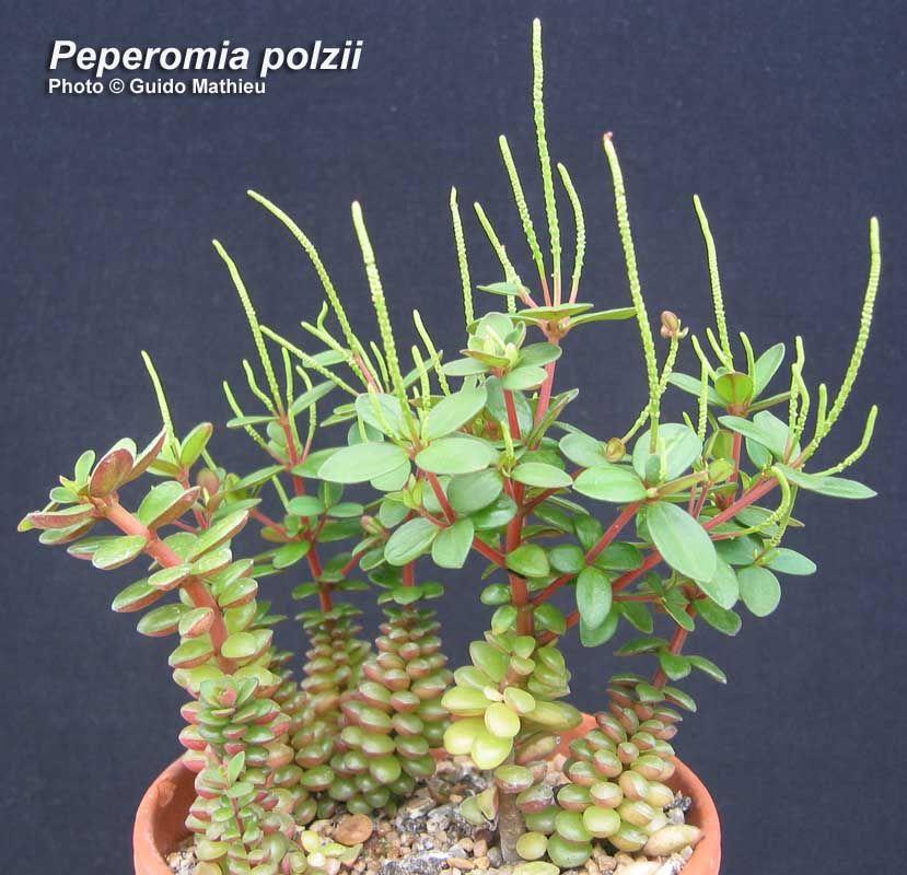 Peperomia Polzii Plantes Tropicales Cactees Plantes Grasses