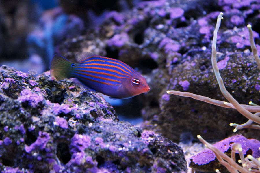 Six Line Wrasse By Umut Aksoy On 500px Wrasse Reef Tank Fish Pet