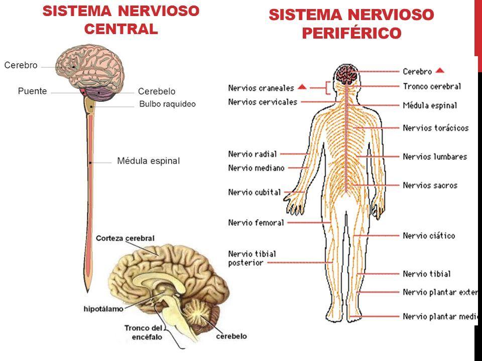 Resultado De Imagen Para Sistema Nervioso Central Sistema Nervioso Sistema Nervioso Central Nervioso