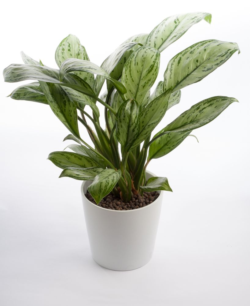 Known as one of the most popular houseplants around the chinese evergreen is a tough little guy known as one of the most durable houseplants you can grow