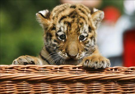 Tiger Cub - tigers Photo