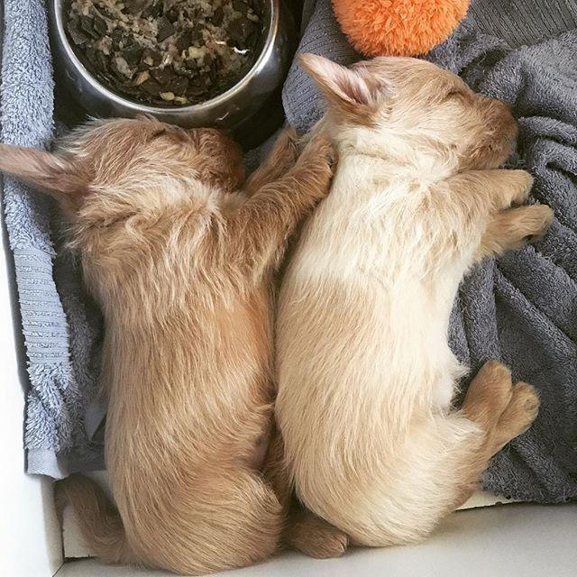 Back When Rosie And Her Brother Finlay Were Wee Puppies Scottie Puppies Scottie Dog Pitbull Terrier