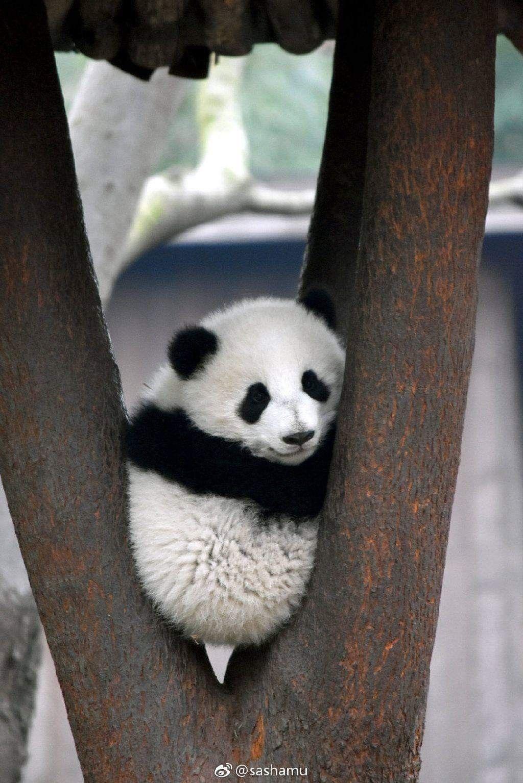 54 Best Funny Panda Pictures ideas | panda, funny panda pictures, panda bear