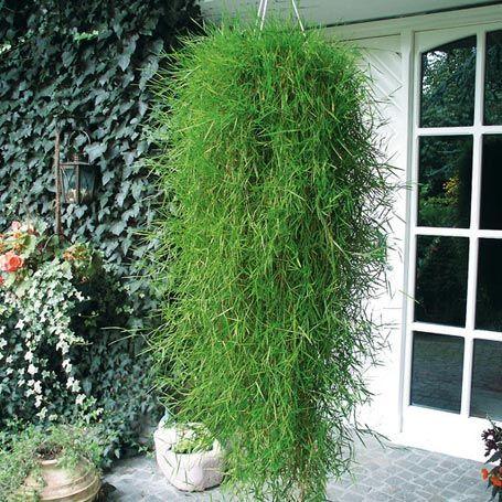 h ngender bambus green twist gardening pinterest. Black Bedroom Furniture Sets. Home Design Ideas