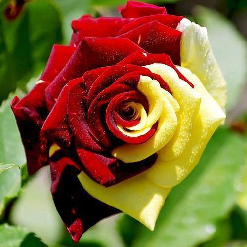 Amazingly Beautiful Two Color Rose Yellow Rose Flower Rose