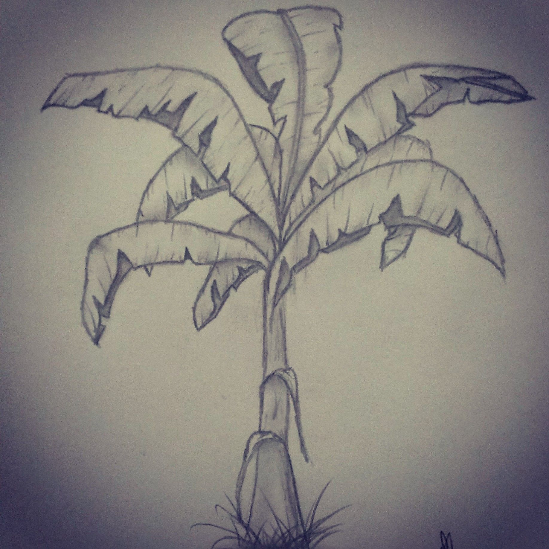Plant banana tree pencil drawing ideas for drawing pencil