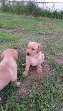 Labrador Retriever Puppy For Sale In Tallahassee Fl Adn 32231 On