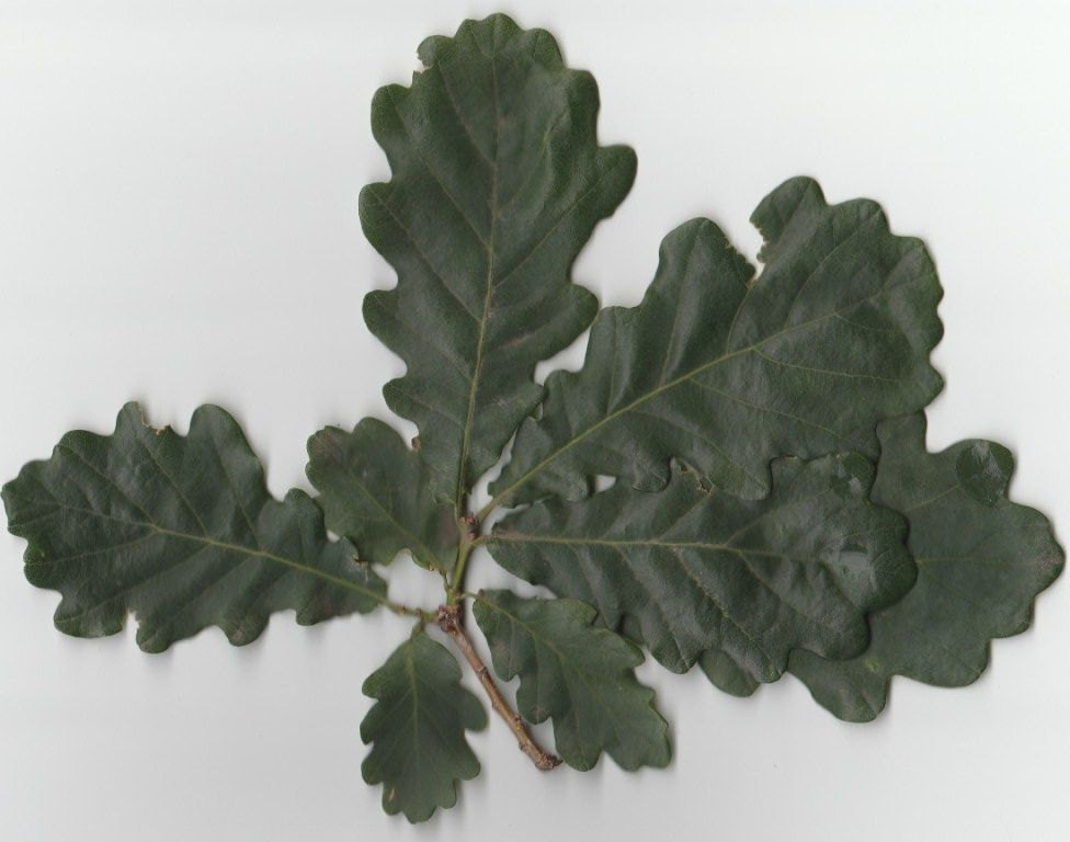Или скачать можно по ссылке листья дуба. | Листья, Цветы