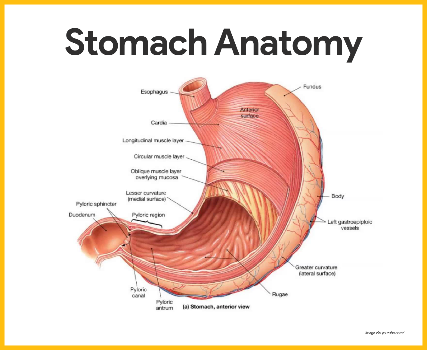 Digestive System Anatomy and Physiology | Pinterest