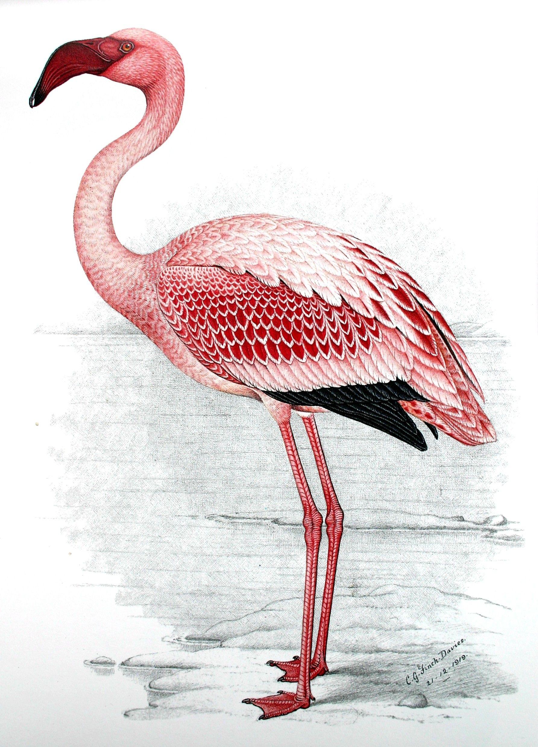public domain flamingo google search annette flamant rose flamant et aquarelle. Black Bedroom Furniture Sets. Home Design Ideas