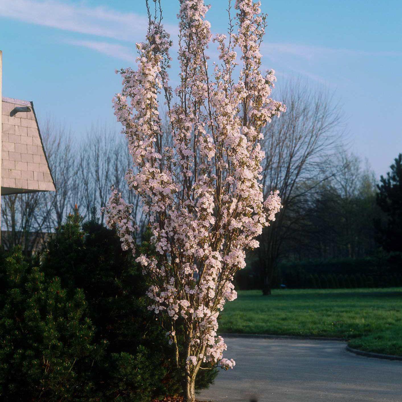 Prunus Amanogawa Tuin Bostuin Prunus