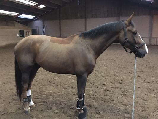 Paarden te koop: Dancer